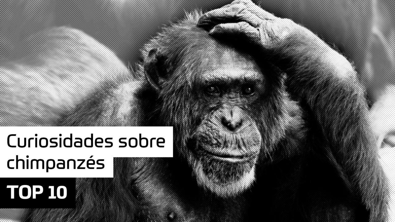 TOP 10 Curiosidades sobre chimpanzés