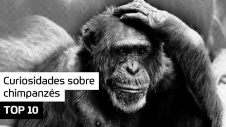 TOP 10 – Curiosidades sobre chimpanzés